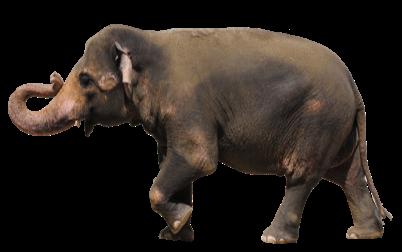 アジアゾウ